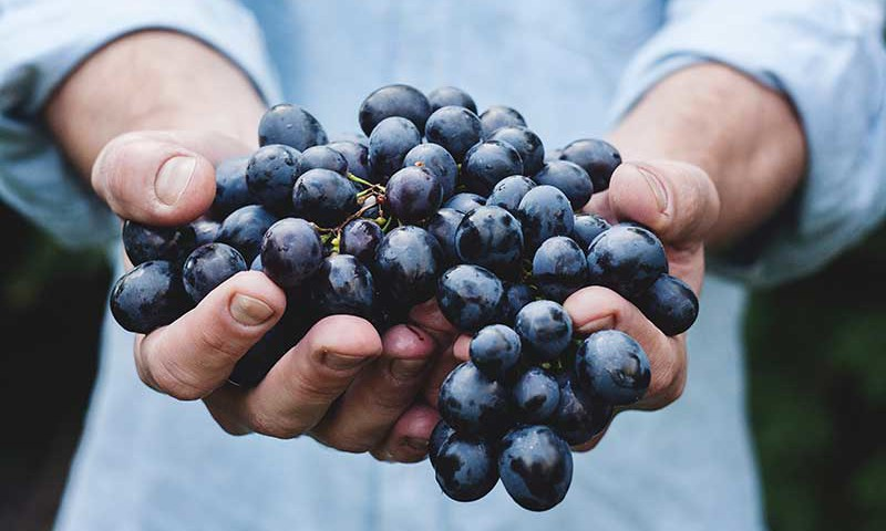 Ripe grapes, just picked at Styring in Newberg, Oregon.