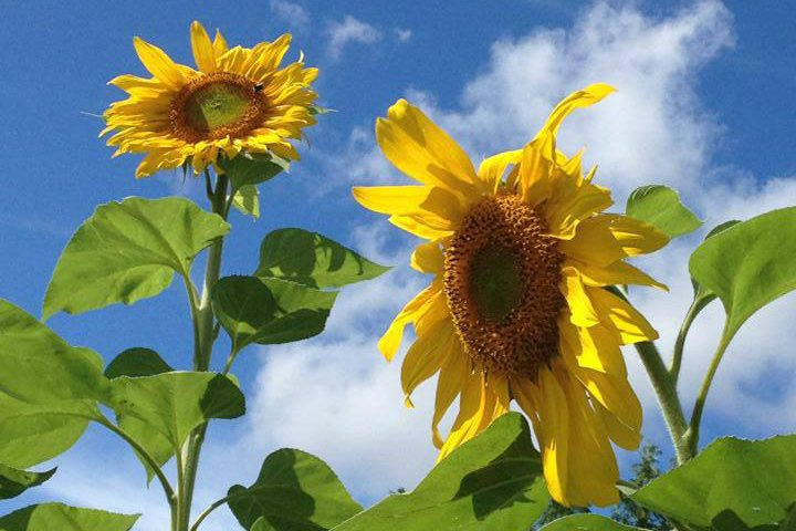 Yellow sunflowers against a bright blue sky